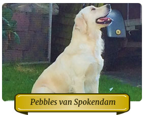 Pebbles van Spokendam Golden