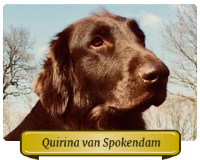 Quirina van Spokendam Flatcoated retriever